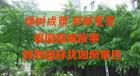 绿树成荫郁郁葱葱 碧园南城故事醇熟园林犹如风景区