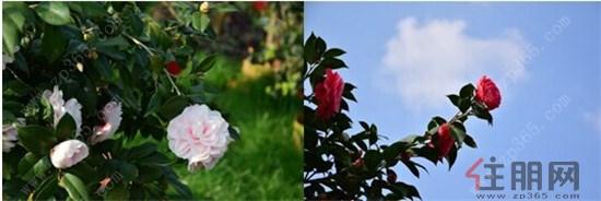 嘉和城茶花园一角 本次茶花节引进国内外名贵品种,最贵一株茶王大海伦高达70万元,茶皇后紫禁城价值38万元,再加上多花色的彩贝拉、粉嫩客人的黛比等等,可谓是盛景非凡。嘉和城茶花节是爱花之人、摄影爱好者的绝对福利,茶花的美亦是老少咸宜,在寒冷的冬天为邕城人民提前带来春的气息。