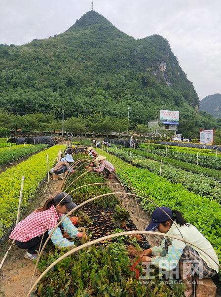 村民在苗木基地干活.png