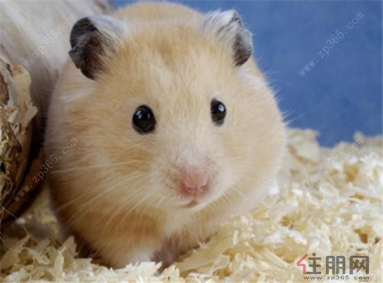 可爱美绘小仓鼠